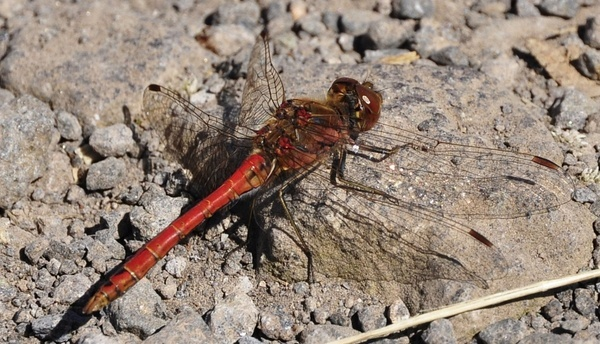 insect dragonfly red dragonfly