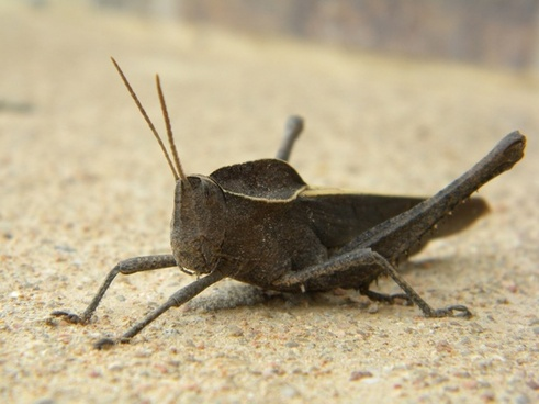 insect grasshopper animal