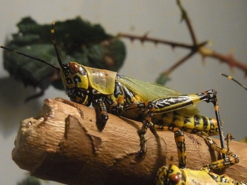 insect grasshopper migratory locust
