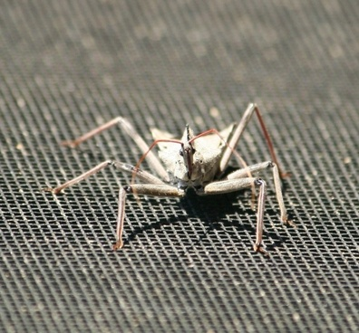 insect wheel bug assasin insect