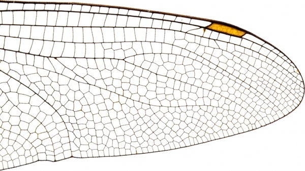 insect wing structure