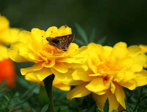 insects small butterfly marigolds