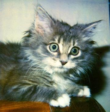 intense kitten