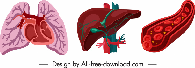 internal organs icons lung liver blood vessels sketch