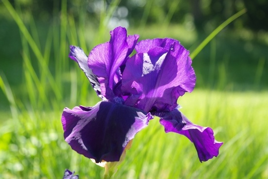 iris flower dark purple