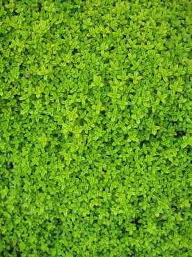 ivy wall green
