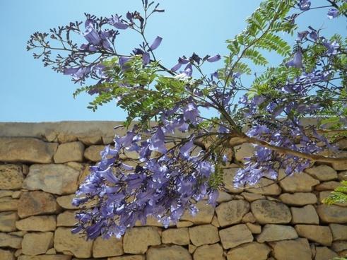 jacarnda tree blossom