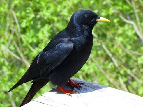 jackdaw bird black