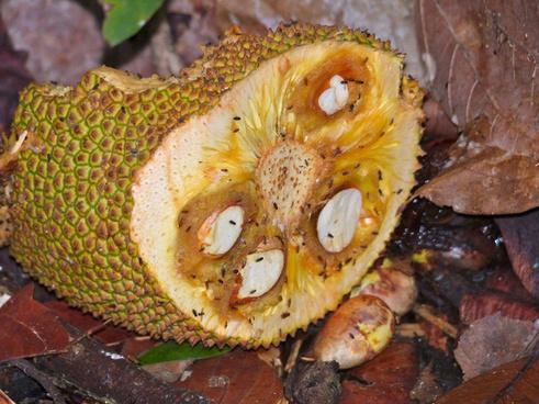 jackfruit artocarpus sp attracting fruit flies drosophila sp