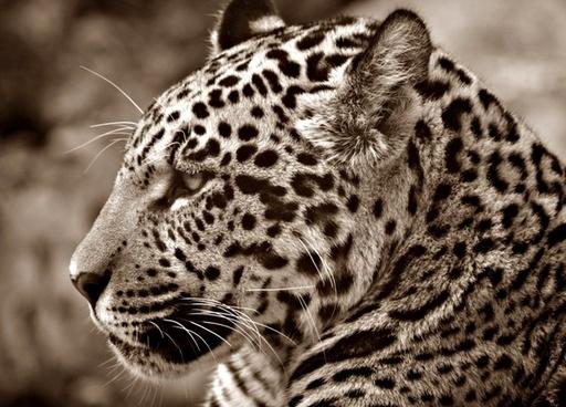 jaguar halbw�chsig