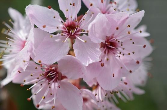 japanese cherry blossom cherry blossom spring