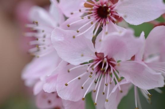 japanese cherry blossom spring flower