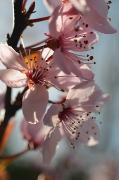 japanese cherry blossom spring flowers