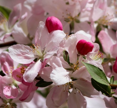 japanese cherry blossoms pink flowers flowering tree