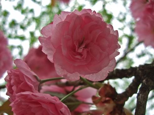 japanese cherry cherry blossom spring