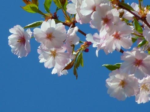 japanese cherry trees flower cherry blossom