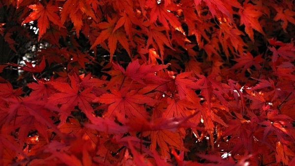 japanese maple japanese maple red leaves