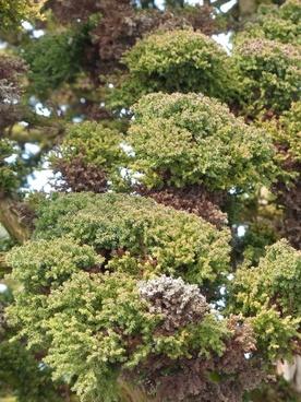 japanese sicheltanne cryptomeria japonica bandai sugi