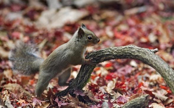 japanese squirrel squirrel sciurus lis
