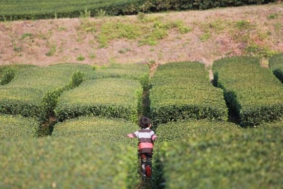 jeju green tea plantation natural