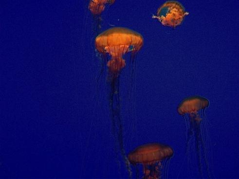 jellyfish blue aquarium