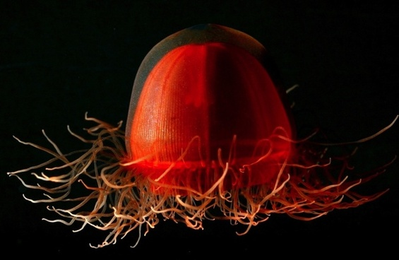 jellyfish life red