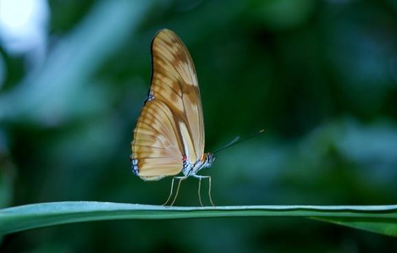 julia dryas butterflies butterfly