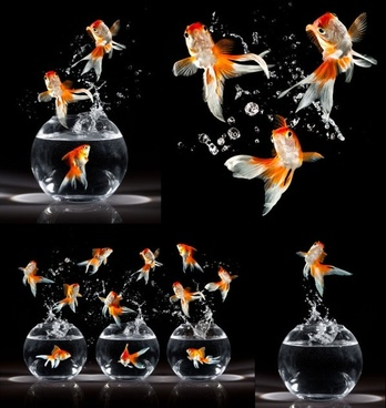 jumping goldfish hd picture
