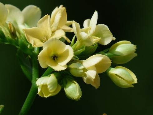 kalanchoe blossfeldiana flowers yellow