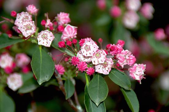kalmia latifolia clementine churchill