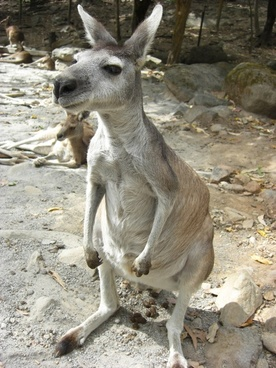 kangaroo at zoo