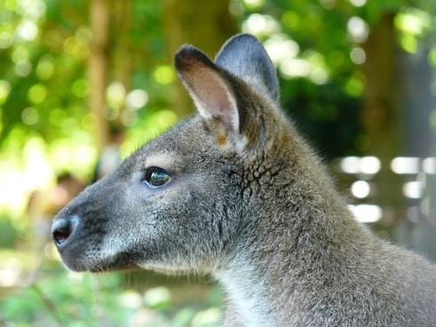 kangaroo marsupial animal