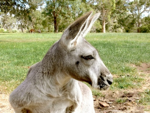 kangaroo marsupial grey kangaroo