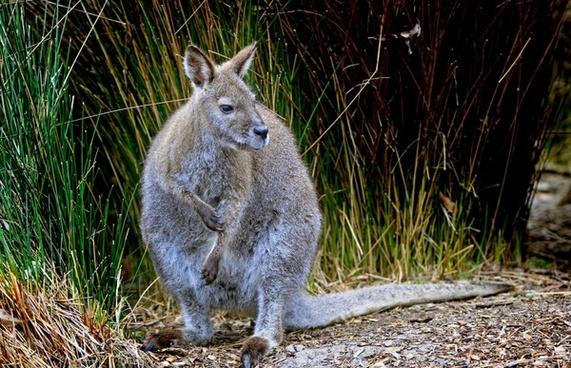 kangaroo wallaby wallabia bicolor