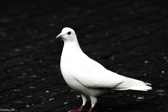 kanlica da a bird