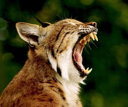 kaz bobcat lynx