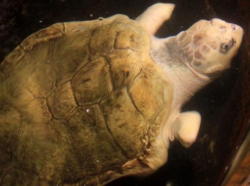 kemp039s ridley sea turtle