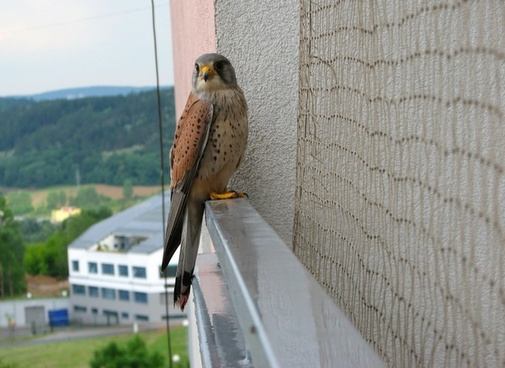kestrel bird balcony