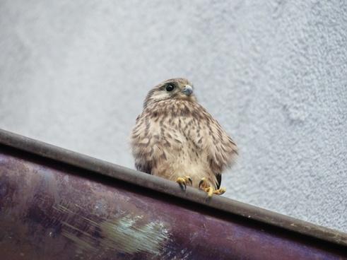 kestrel falcon young animal