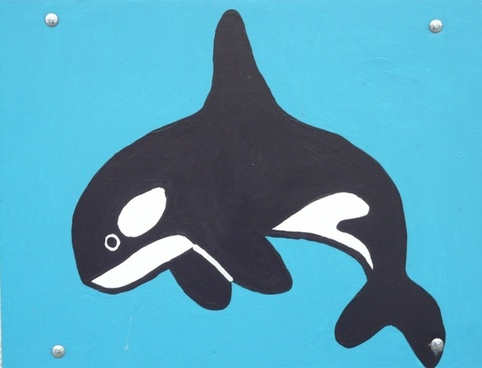 killer whale orcinus orca wal