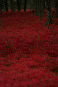 kinchakuda where tons of red spider lily exist