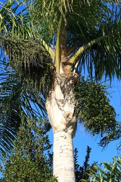 king palm with date clusters