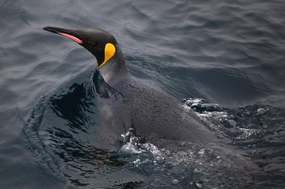 king penguin sea ocean