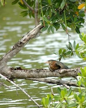 kingfisher bird resting