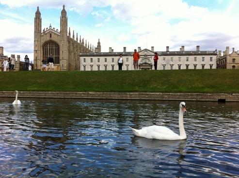 king'scollege cambridge swan