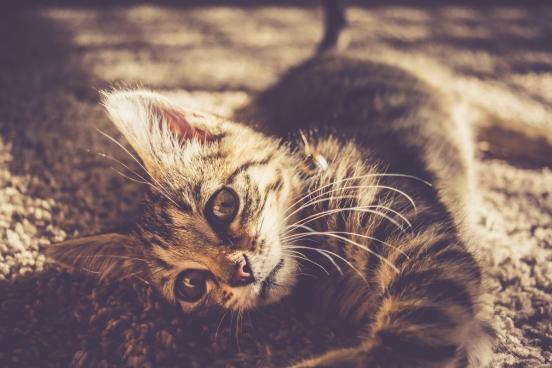 kitten closeup