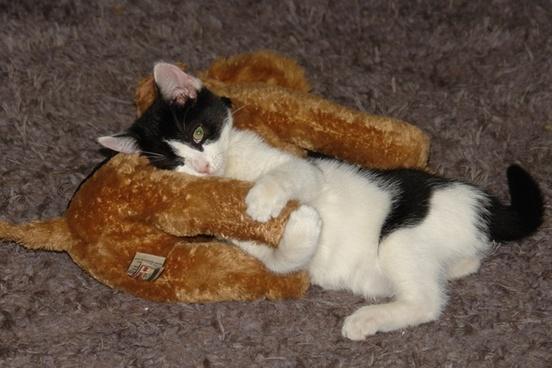 kitten loves toy