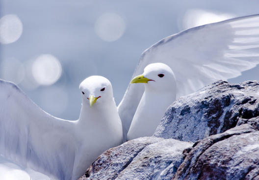 kittiwakes in love