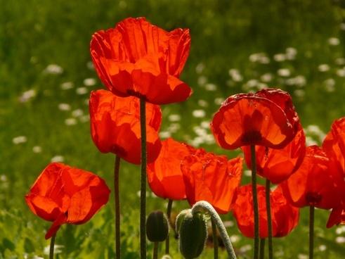 klatschmohn papaver rhoeas flower