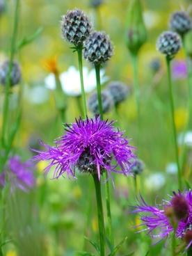 knapweed violet pointed flower